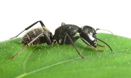 Side view of ant on leaf Stock Photography