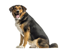 Side view of an Appenzeller mountain dog sitting, panting Stock Image
