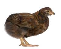 Side view of Araucana, standing Stock Photography