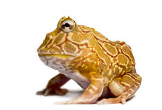 Side view of an Argentine Horned Frog, Ceratophrys ornata. Isolated on white Royalty Free Stock Image
