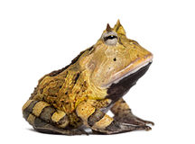 Side view of an Argentine Horned Frog, Ceratophrys ornata. Isolated on white Stock Image