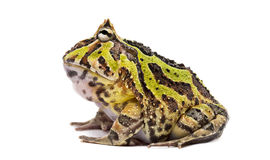 Side view of an Argentine Horned Frog, Ceratophrys ornata. Isolated on white Stock Images