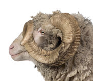 Side view of Arles Merino sheep, ram, 5 years old Royalty Free Stock Photos