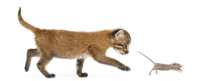 Side view of an Asian golden cat chasing a young mouse, isolated. On white Royalty Free Stock Image