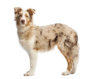 Side view of a Australian Shepherd, 5 months old, standing and looking at the camera Stock Images
