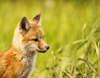 Side view of baby fox. A close up side view of a baby fox from head to shoulder Royalty Free Stock Photo