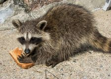 Side view of a baby raccoon eating bread. Side view of a juvenile raccoon holding tight onto a piece of toast stock images