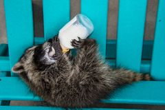 A baby raccoon on its back drinking from a bottle. Side view of a baby raccoon holding up a baby bottle with all four paws and drinking. The raccoon Is sitting stock images