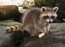 Side view of a baby raccoon surrounded by dark rocks. Side view if a juvenile raccoon perched on a pile of dark rocks with a morsel of food beside her royalty free stock photo