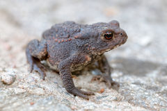 Side view of baby toad with big eyes Stock Image