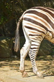 Side view of the back leg of Zebra Royalty Free Stock Image