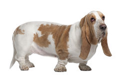 Side view of Basset Hound, standing Stock Photography