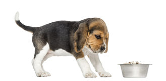 Side view of a Beagle puppy looking at his bowl with disgust Stock Images