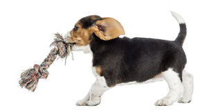 Side view of a Beagle puppy playing with a rope toy, isolated. On white stock image