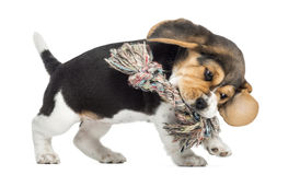 Side view of a Beagle puppy playing with a Rope toy, isolated. On white royalty free stock photos