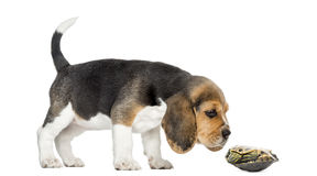 Side view of a Beagle puppy sniffing a turtle. Lying on its back, isolated on white Royalty Free Stock Images