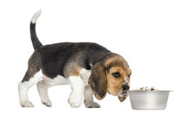 Side view of a Beagle puppy standing, sniffing food in a bowl Stock Images