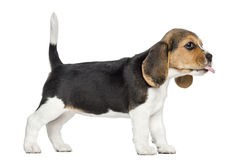 Side view of a Beagle puppy standing, sticking the tongue out Royalty Free Stock Images