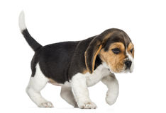 Side view of a Beagle puppy walking, isolated Stock Image