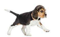 Side view of a Beagle puppy walking, isolated Royalty Free Stock Photo