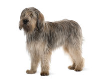 Side view of Bearded Collie, standing Stock Photos