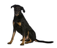 Side view of Beauceron dog, sitting Stock Photo