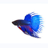 Side view of beautiful blue crown tail siamese thai betta fighti. Ng fish show full form of fin and crowntail isolated white background use for animalsa and Royalty Free Stock Photography