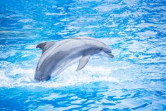 Bottlenose dolphin jumping out of the water. Side view of a beautiful bottlenose dolphin jumping out of the water. Beautiful ocean animal in an idyllic setting royalty free stock photography