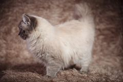 Side view of a beautiful cat on furry background Royalty Free Stock Image