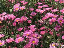 Side view of beautiful pink daisy or chrysanthemum Royalty Free Stock Image