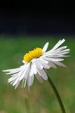 Side-view of a Beautiful White Oxeye Daisy. A Beautiful White Oxeye Daisy Standing Against a Green Backdrop Stock Images