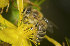Side view of bee on yellow blossom Royalty Free Stock Photos