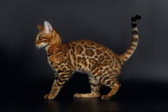 Side View Bengal Cat Stock Photo