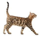 Side view of a bengal cat walking Royalty Free Stock Photos