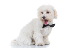 Side view of a bichon puppy looking back. On white background Stock Photography