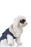 Side view of a bichon puppy  wearing clothes and sunglasses. Side view of a bichon puppy dog wearing clothes and sunglasses on white background Royalty Free Stock Images