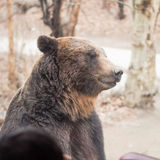 Side view from big brown bear standing , amazing adventure show Stock Photo