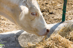 Side view of a big cow eating. Side view of a big white cow eating hay Royalty Free Stock Photo