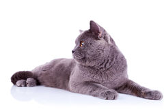 Side view of an big english cat Royalty Free Stock Photos