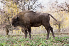 Side view of a big European bison (Bison bonasus) Stock Images