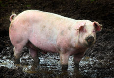 Side view of a big pig Royalty Free Stock Image