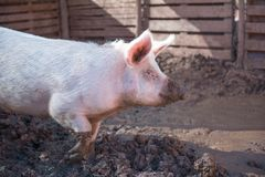 Pig in a pigsty Royalty Free Stock Image