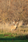 Side View of Big Whitetail Deer. Morning Light on Big Whitetail Buck in Winter Stock Images