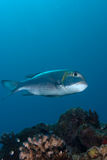 A side view of a Bigeye emperor Royalty Free Stock Photography