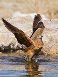 Bird washing in water. Side view of bird washing in water Stock Photo