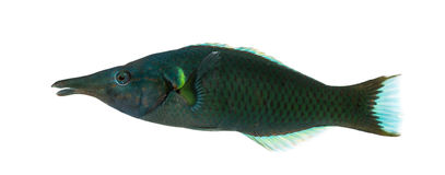 Side view of a Bird wrasse male, Gomphosus varius Royalty Free Stock Photo