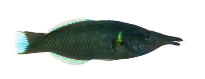 Side view of a Bird wrasse male, Gomphosus varius Stock Photos