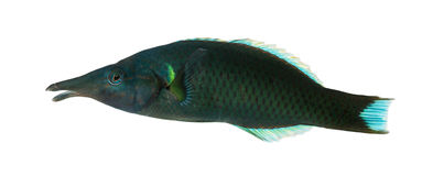 Side view of a Bird wrasse male, Gomphosus varius Royalty Free Stock Photography
