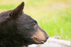 Side view of black bear Stock Images