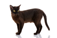 Side view of a Black Cat isolated on white. Side view of a Black Cat walking, isolated on white stock photo